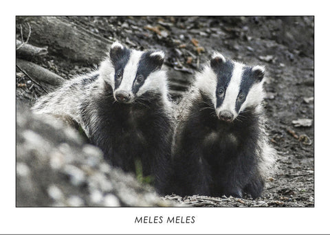 MELES MELES - European badger. Collection Alpine Fauna.