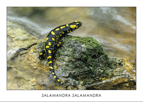LAMANDRA SALAMANDRA - Fire salamander. Collection Alpine Fauna.