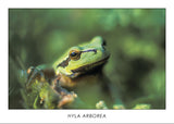 HYLA ARBOREA - European tree frog. Collection Alpine Fauna