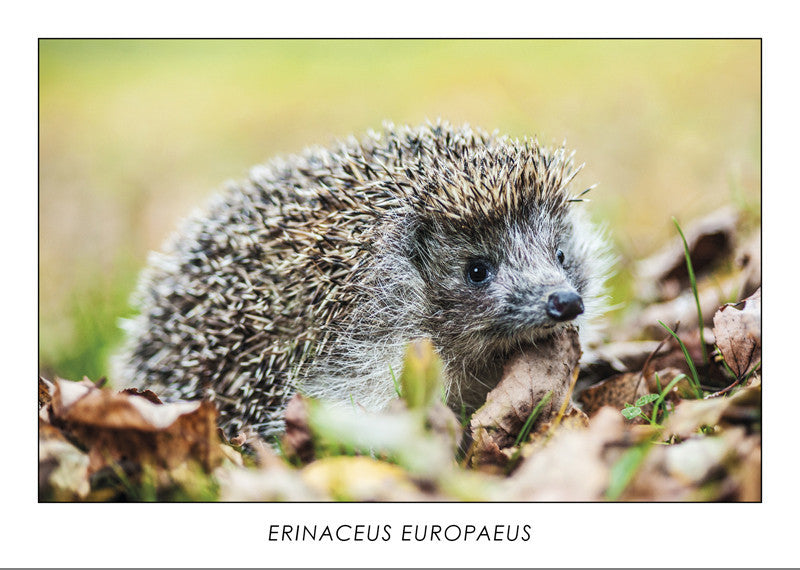 ERINACEUS EUROPAEUS - European hedgehog. Collection Alpine Fauna.