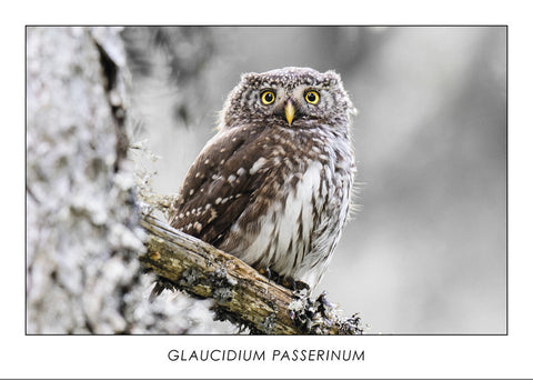 GLAUCIDIUM PASSERINUM - Pygmy owl. Collection Alpine Fauna.