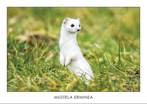 MUSTELA ERMINEA - Stoat. Collection Alpine Fauna.