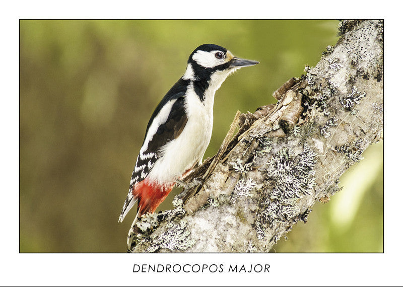 DENDROCOPOS MAJOR - Great spotted woodpecker. Collection Alpine Fauna