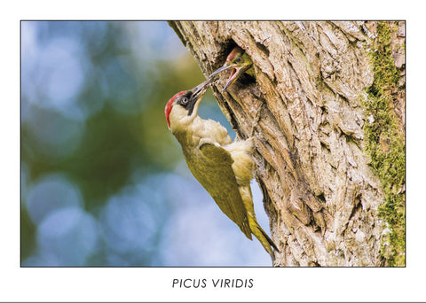 PICUS VIRIDIS - Green woodpecker. Collection Alpine Fauna.