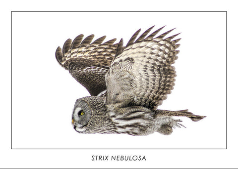 STRIX NEBULOSA - Great grey owl. Collection Wildlife