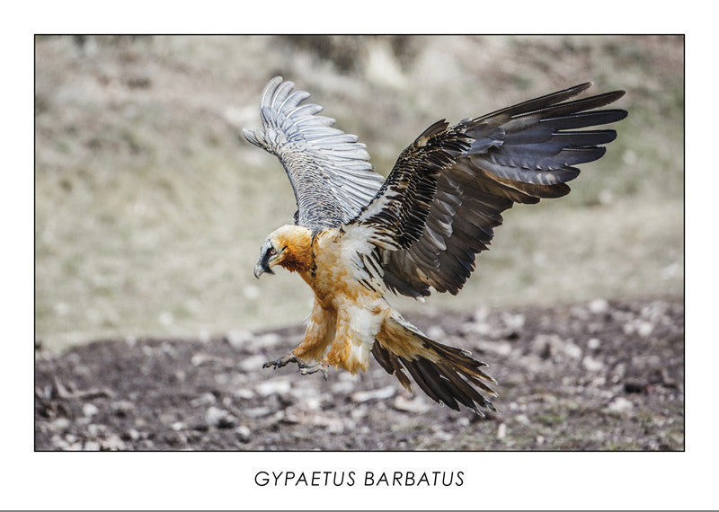 GYPAETUS BARBATUS - Bearded vulture. Collection Alpine Fauna.