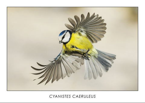 CYANISTES CAERULEUS - Eurasian blue tit. Collection Alpine Fauna.