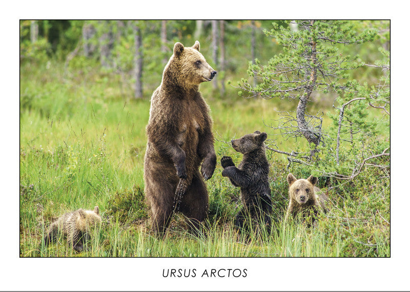 URSUS ARCTOS - Brown bear. Collection Alpine Fauna.