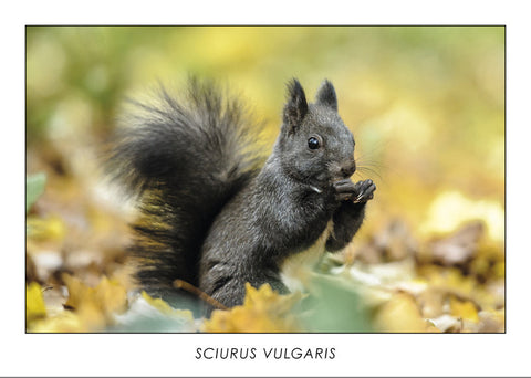 SCIURUS VULGARIS - Red squirrel. Collection Alpine Fauna.