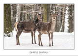 CERVUS ELAPHUS - Hind. Collection Alpine Fauna.