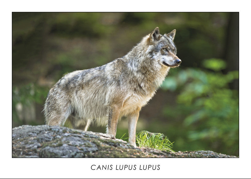 CANIS LUPUS LUPUS - Eurasian Wolf. Collection Alpine Fauna.