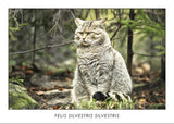FELIS SILVESTRIS SILVESTRIS - European wildcat. Collection Alpine Fauna.