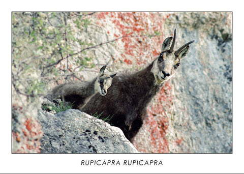 RUPICAPRA RUPICAPRA - Chamois. Collection Alpine Fauna.
