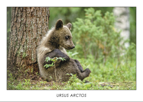 URSUS ARCTOS - Brown bear. Collection Alpine Fauna