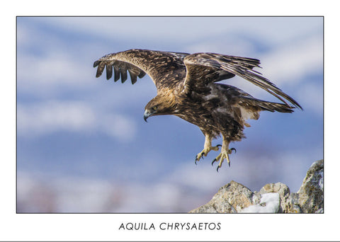 AQUILA CHRYSAETOS - Golden eagle. Collection Alpine Fauna.