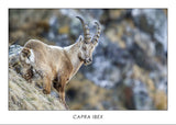CAPRA IBEX - Alpine ibex. Collection Alpine Fauna.