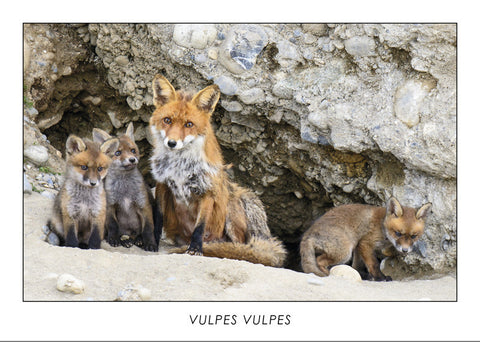 VULPES VULPES - Red fox. Collection Alpine Fauna