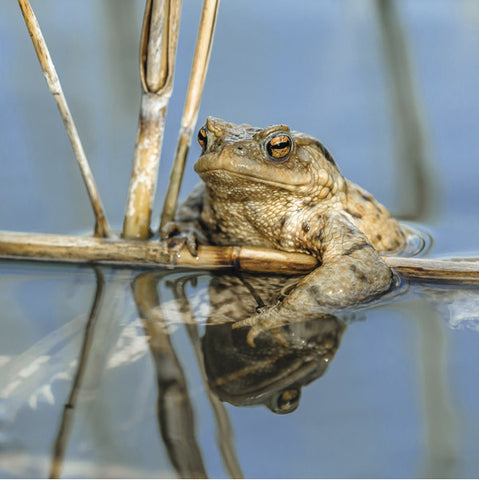 75004 - Common toad
