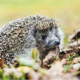 75009 - European hedgehog