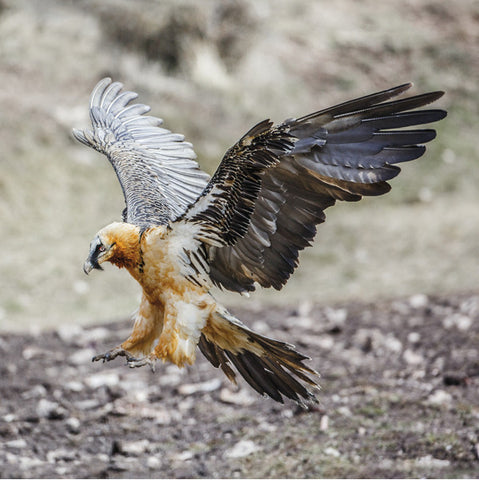 75018 - Bearded vulture