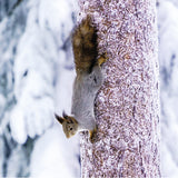 75025 - Red squirrel