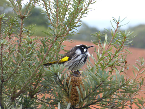 New Holland Honeyeater in the Cranbourne Botanical Gardens. Image by Cockatoo Coollection