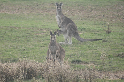 Kangaroos in the wild in Plenty Gorge Park - Joey in a pouch