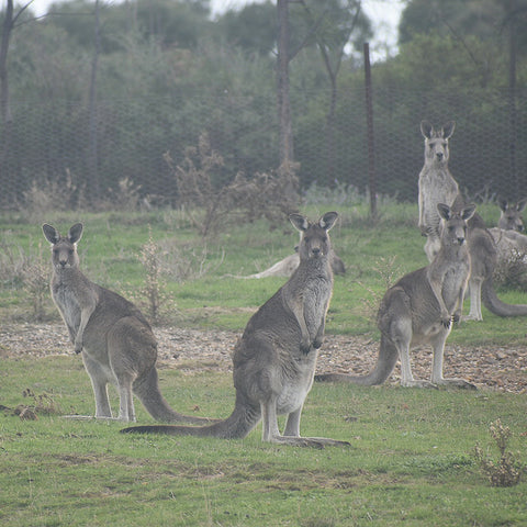 Mob of kangaroos in Plenty Gorge Park, Melbourne