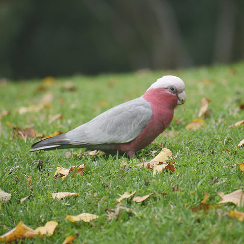 Galah in Melbourne