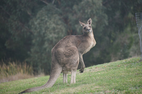 Where to spot kangaroos in the wild near Melbourne