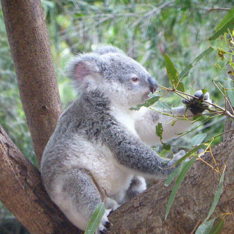 Koala. Image by Cockatoo Collection