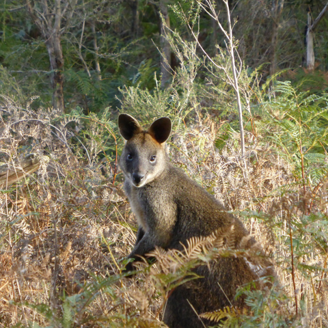 Another 'Wallaby Spy' in Cranbourne Botanical Gardens. Image by Cockatoo Collection
