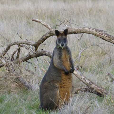 Wallaby enjoying his lunch in the bushlands surrounding the Australia Garden in Cranbourne