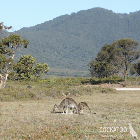 Kangaroos grazing in Wilsons Promontory National Park, Australia. Image by Cockatoo Collection