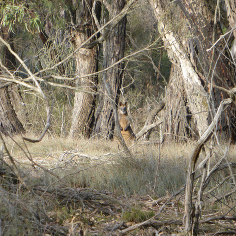 A 'Wallaby Spy' spying in the bushes by Royal Botanical Gardens, Cranbourne. Image by Cockatoo Collection