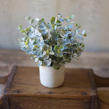 Small Boxwood Plant in Cement Pot