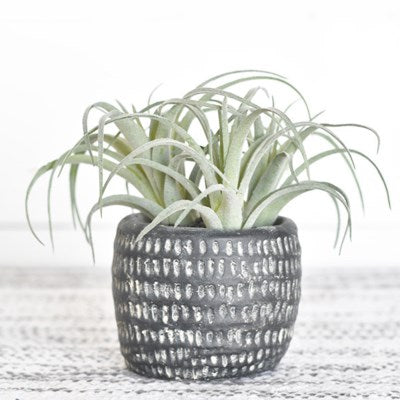 Air Plant in Pot