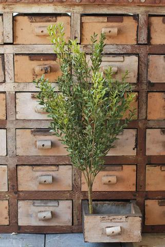 "19"" New England Boxwood Bush"