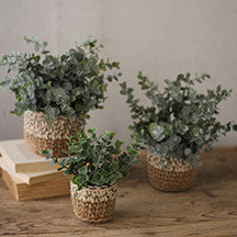 Eucalyptus Plant in Woven Pot- Medium - Out of the Woodwork Designs