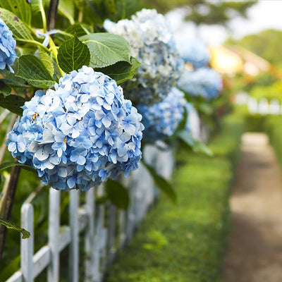 THE GLORIOUS HYDRANGEAS OF NANTUCKET