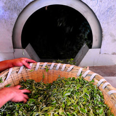 drying tea leaves right after picking
