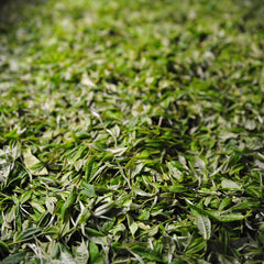 freshly picked tea leaves ready for processing