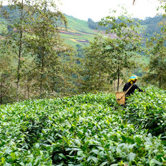 village tea farmer harvesting tea