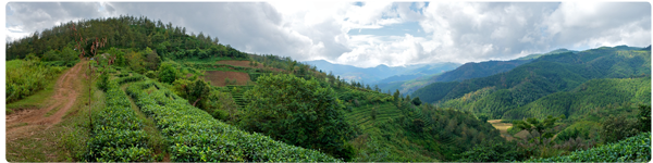 Tea terrace that some of our tea comes from, 6000ft above sea level