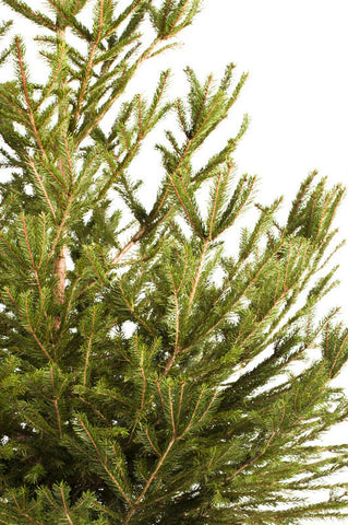 Real Norway Spruce Christmas tree