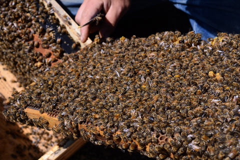 Spring Honeybee Packages and Nucleus Hives