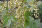 Cardwell Hill : Poison-Oak & Wild Blackberry