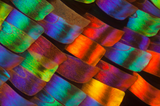 butterfly wing microscopic view