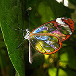 glass wing butterfly with refraction