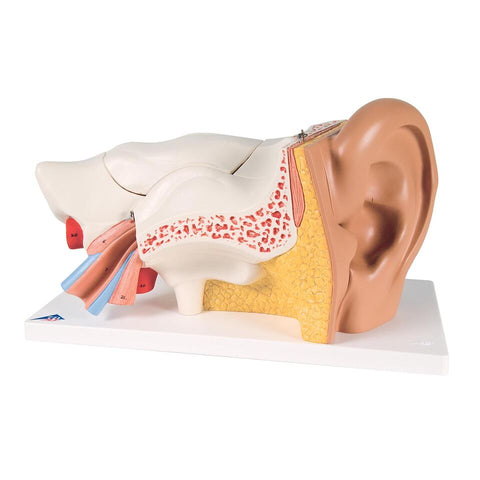 Ear Model, 3-Times Life Size, 6-Part